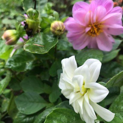 Pink and white Dahlias
